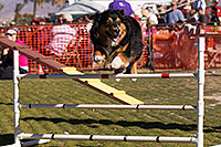 /images/133/2014-01-17-havasu-dogs-1dx_1196.jpg - #11622: Frisbee dog Zoie at Lake Havasu Balloon Fest … January 2014 -- Lake Havasu City, Arizona