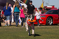 /images/133/2014-01-18-havasu-dogs-1dx_5299.jpg - #11664: Frisbee dog Bumper at Lake Havasu Balloon Fest … January 2014 -- Lake Havasu City, Arizona