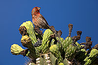 /images/133/2014-05-23-supers-sparrows-5d3_0096.jpg - #11789: Male House Finch on Saguaro Flowers in Superstitions … May 2014 -- Superstitions, Arizona