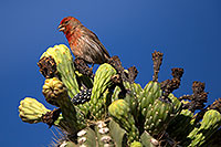 /images/133/2014-05-23-supers-sparrows-5d3_0116.jpg - #11790: Male House Finch on Saguaro Flowers in Superstitions … May 2014 -- Superstitions, Arizona