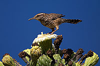 /images/133/2014-05-23-supers-wren-5d3_0273.jpg - #11788: Cactus Wren on top of a Saguaro Flower in Superstitions … May 2014 -- Superstitions, Arizona