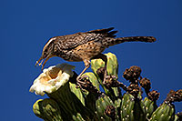 /images/133/2014-05-23-supers-wren-5d3_0282.jpg - #11790: Cactus Wren on top of a Saguaro Flower in Superstitions … May 2014 -- Superstitions, Arizona