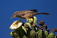 /images/133/2014-05-23-supers-wren-5d3_0283.jpg - #11791: Cactus Wren on top of a Saguaro Flower in Superstitions … May 2014 -- Superstitions, Arizona