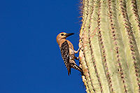/images/133/2014-05-24-supers-woodpeckers-5d3_0683.jpg - #11793: Male Gila Woodpecker at the nest in Superstitions … May 2014 -- Superstitions, Arizona