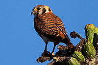 /images/133/2014-05-26-supers-kestrel-5d3_2219m.jpg - #11798: American Kestrel female in Superstitions … May 2014 -- Superstitions, Arizona