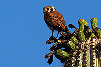 /images/133/2014-05-26-supers-kestrel-5d3_2225.jpg - #11800: American Kestrel female in Superstitions … May 2014 -- Superstitions, Arizona