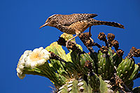/images/133/2014-05-26-supers-warbler-5d3_2286.jpg - #11801: Cactus Wren in Superstitions … May 2014 -- Superstitions, Arizona