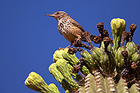 /images/133/2014-05-26-supers-warbler-5d3_2340.jpg - #11802: Cactus Wren in Superstitions … May 2014 -- Superstitions, Arizona