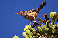 /images/133/2014-05-26-supers-warbler-5d3_2341.jpg - #11803: Cactus Wren in Superstitions … May 2014 -- Superstitions, Arizona