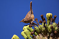 /images/133/2014-05-26-supers-warbler-5d3_2347.jpg - #11804: Cactus Wren in Superstitions … May 2014 -- Superstitions, Arizona