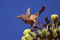 /images/133/2014-05-26-supers-warbler-5d3_2349.jpg - Birds > Cactus Wrens