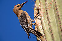 /images/133/2014-05-26-supers-woodpeckers-5d3_2479.jpg - #11806: Male Gila Woodpecker by the nest in Superstitions … May 2014 -- Superstitions, Arizona