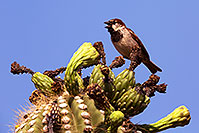 /images/133/2014-05-27-supers-finch-5d3_4087.jpg - #11809: House Sparrow (male) in Superstitions … May 2014 -- Superstitions, Arizona