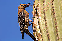/images/133/2014-05-27-supers-woodpeckers-5d3_3988.jpg - #11817: Male Gila Woodpecker bringing fruit to the nest … May 2014 -- Superstitions, Arizona