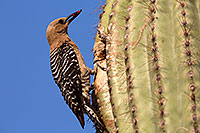 /images/133/2014-05-27-supers-woodpeckers-5d3_4107.jpg - #11818: Male Gila Woodpecker bringing fruit to the nest … May 2014 -- Superstitions, Arizona