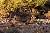 /images/133/2014-05-29-supers-deer-5d3_4817.jpg - #11819: Mule deer in Superstitions … May 2014 -- Superstitions, Arizona