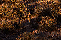 /images/133/2014-05-29-supers-jackrabbit-5d3_4844.jpg - #11827: Jackrabbit in Superstitions … May 2014 -- Superstitions, Arizona