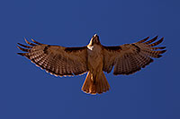 /images/133/2014-05-30-supers-hawks-5d3_4971.jpg - #11825: Red Tailed Hawk (adult) in Superstitions … May 2014 -- Superstitions, Arizona