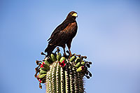 /images/133/2014-06-03-supers-harris-5d3_7851.jpg - #11836: Harris Hawk on top of a Saguaro Cactus … June 2014 -- Superstitions, Arizona