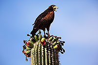 /images/133/2014-06-03-supers-harris-5d3_7854.jpg - #11837: Harris Hawk on top of a Saguaro Cactus … June 2014 -- Superstitions, Arizona