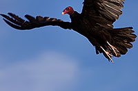 /images/133/2014-06-03-supers-vultures-5d3_7648.jpg - #11843: Turkey Vulture in flight in Superstitions … June 2014 -- Superstitions, Arizona