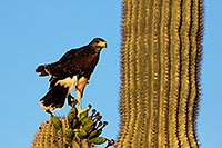 /images/133/2014-06-04-supers-harris-5d3_8588.jpg - #11844: Harris Hawk (juvenile) … June 2014 -- Superstitions, Arizona
