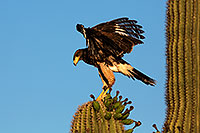 /images/133/2014-06-04-supers-harris-5d3_8599.jpg - #11845: Harris Hawk (juvenile) … June 2014 -- Superstitions, Arizona