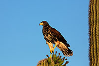 /images/133/2014-06-04-supers-harris-5d3_8637.jpg - #11846: Harris Hawk (juvenile) … June 2014 -- Superstitions, Arizona