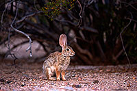 /images/133/2014-06-07-tucson-g-bunny-1359.jpg - #11854: Desert Cottontail in Tucson … June 2014 -- Tucson, Arizona