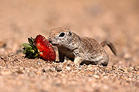 /images/133/2014-06-07-tucson-g-squirrels-0639.jpg - #11864: Round Tailed Ground Squirrels in Tucson … June 2014 -- Tucson, Arizona
