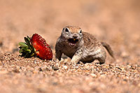 /images/133/2014-06-07-tucson-g-squirrels-0641.jpg - #11865: Round Tailed Ground Squirrels in Tucson … June 2014 -- Tucson, Arizona