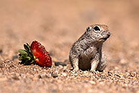 /images/133/2014-06-07-tucson-g-squirrels-0644.jpg - #11866: Round Tailed Ground Squirrels in Tucson … June 2014 -- Tucson, Arizona