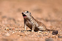 /images/133/2014-06-07-tucson-g-squirrels-0679.jpg - #11868: Round Tailed Ground Squirrels in Tucson … June 2014 -- Tucson, Arizona