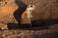 /images/133/2014-06-07-tucson-g-squirrels-1281.jpg - #11868: Round Tailed Ground Squirrels in Tucson … June 2014 -- Tucson, Arizona