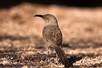 /images/133/2014-06-07-tucson-thrasher-5d3_0491.jpg - #11872: Curved Bill Thrasher in Tucson … June 2014 -- Tucson, Arizona