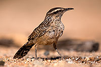 /images/133/2014-06-07-tucson-wren-5d3_0424.jpg - #11874: Cactus Wren in Tucson … June 2014 -- Tucson, Arizona