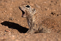/images/133/2014-06-08-tucson-g-squirrels-1501.jpg - #11891: Round Tailed Ground Squirrels in Tucson … June 2014 -- Tucson, Arizona