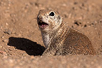 /images/133/2014-06-08-tucson-g-squirrels-1516.jpg - #11892: Round Tailed Ground Squirrels in Tucson … June 2014 -- Tucson, Arizona