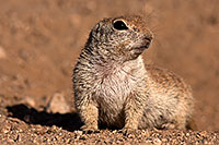 /images/133/2014-06-08-tucson-g-squirrels-1528.jpg - #11893: Round Tailed Ground Squirrels in Tucson … June 2014 -- Tucson, Arizona