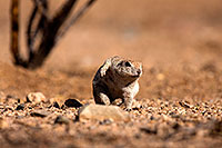/images/133/2014-06-08-tucson-g-squirrels-1557.jpg - #11894: Round Tailed Ground Squirrels in Tucson … June 2014 -- Tucson, Arizona