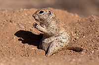 /images/133/2014-06-08-tucson-g-squirrels-1725.jpg - #11895: Round Tailed Ground Squirrels in Tucson … June 2014 -- Tucson, Arizona