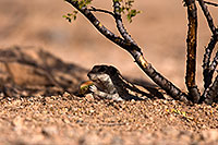 /images/133/2014-06-08-tucson-g-squirrels-1764.jpg - #11897: Round Tailed Ground Squirrels in Tucson … June 2014 -- Tucson, Arizona