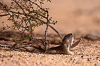 /images/133/2014-06-08-tucson-g-squirrels-1950.jpg - #11899: Round Tailed Ground Squirrels in Tucson … June 2014 -- Tucson, Arizona