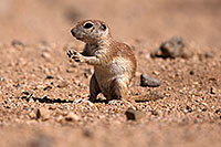 /images/133/2014-06-08-tucson-g-squirrels-2097.jpg - #11900: Round Tailed Ground Squirrels in Tucson … June 2014 -- Tucson, Arizona