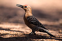 /images/133/2014-06-08-tucson-woodp-5d3_2105.jpg - #11895: Gila Woodpecker in Tucson … June 2014 -- Tucson, Arizona