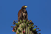 /images/133/2014-06-13-supers-hawks-5d3_0179.jpg - #11902: Juvenile Harris Hawk in Superstitions … June 2014 -- Superstitions, Arizona