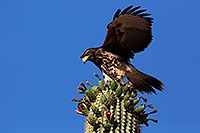 /images/133/2014-06-13-supers-hawks-5d3_0186.jpg - #11903: Juvenile Harris Hawk in Superstitions … June 2014 -- Superstitions, Arizona