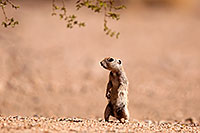 /images/133/2014-06-14-tucson-g-squirr-5d3_0684.jpg - #11915: Round Tailed Ground Squirrels in Tucson … June 2014 -- Tucson, Arizona