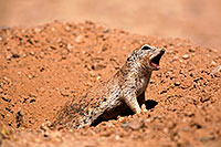 /images/133/2014-06-14-tucson-g-squirr-5d3_0789.jpg - #11917: Round Tailed Ground Squirrels in Tucson … June 2014 -- Tucson, Arizona