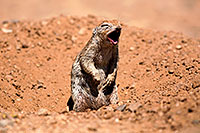/images/133/2014-06-14-tucson-g-squirr-5d3_0969.jpg - #11918: Round Tailed Ground Squirrels in Tucson … June 2014 -- Tucson, Arizona